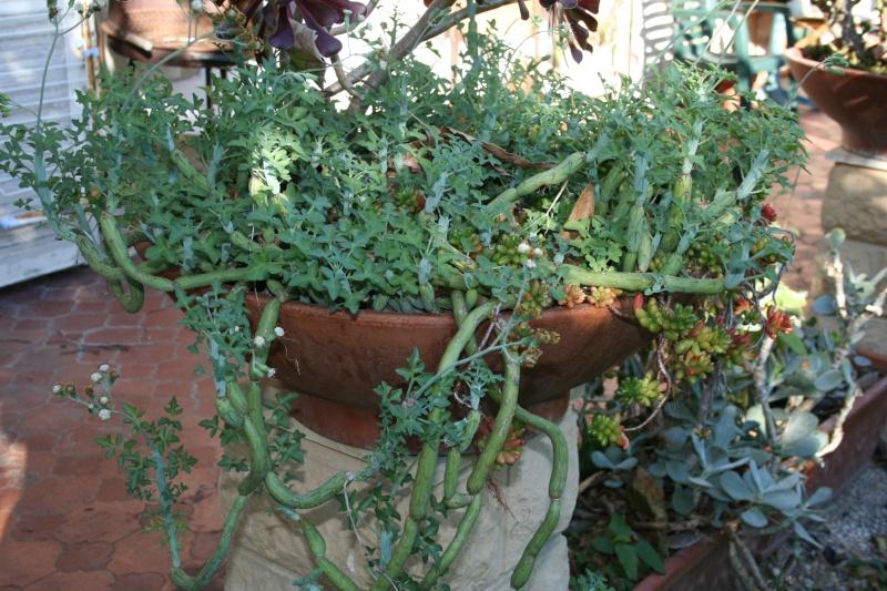 Pour le plaisir, une coupe à végétation hivernale Seneci19