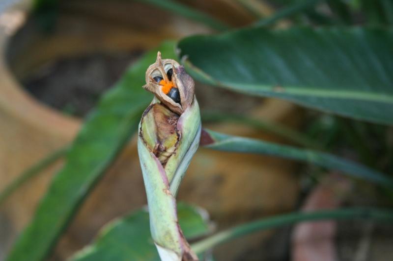 comment faire secher une fleur d'oiseaux de paradis fécondé ? Streli13
