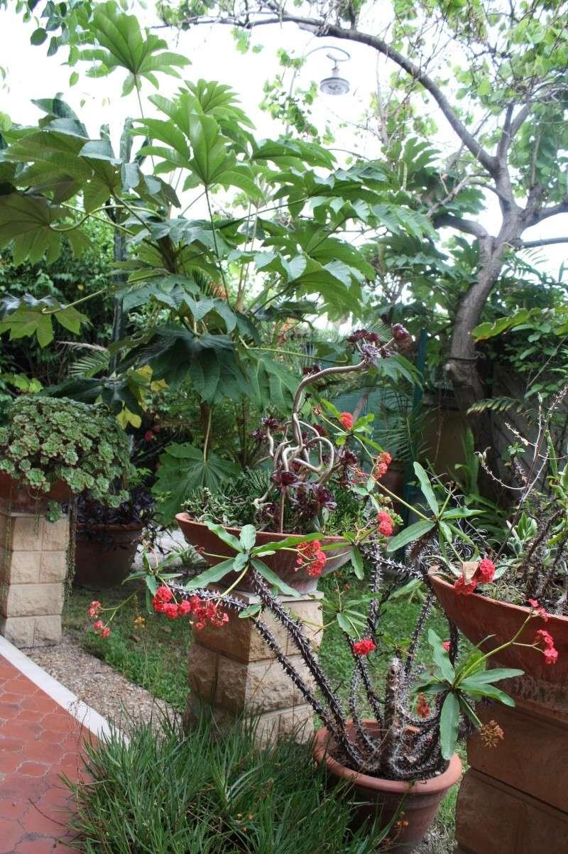 Aeonium ' Kiwi ' en fleurs Terras10