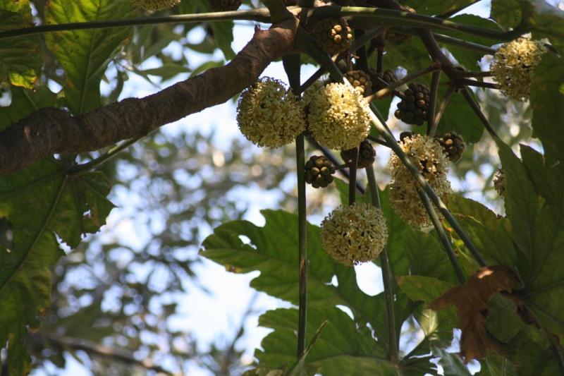 Trevesia palmata : floraison curieuse Treves10