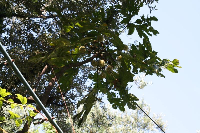 Trevesia palmata : floraison curieuse Treves11