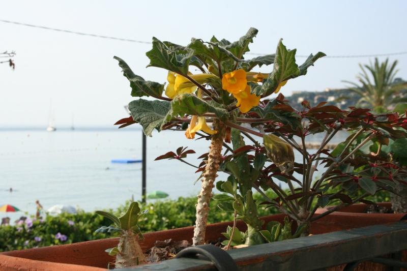 Uncarina roeosliana : semis spontané qui fleurit Uncari12