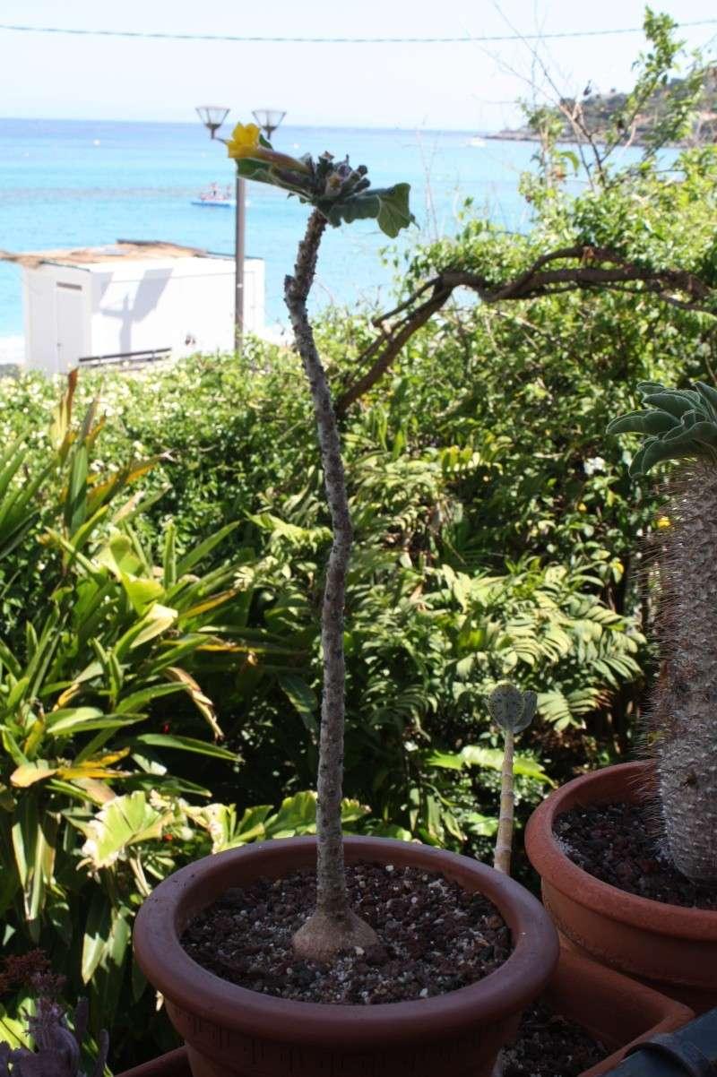 Uncarina roeosliana : semis spontané qui fleurit Uncari13