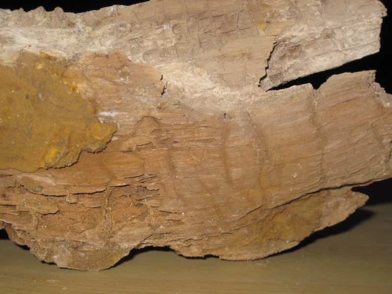 Bois fossile de l'Yprésien Cuise_14