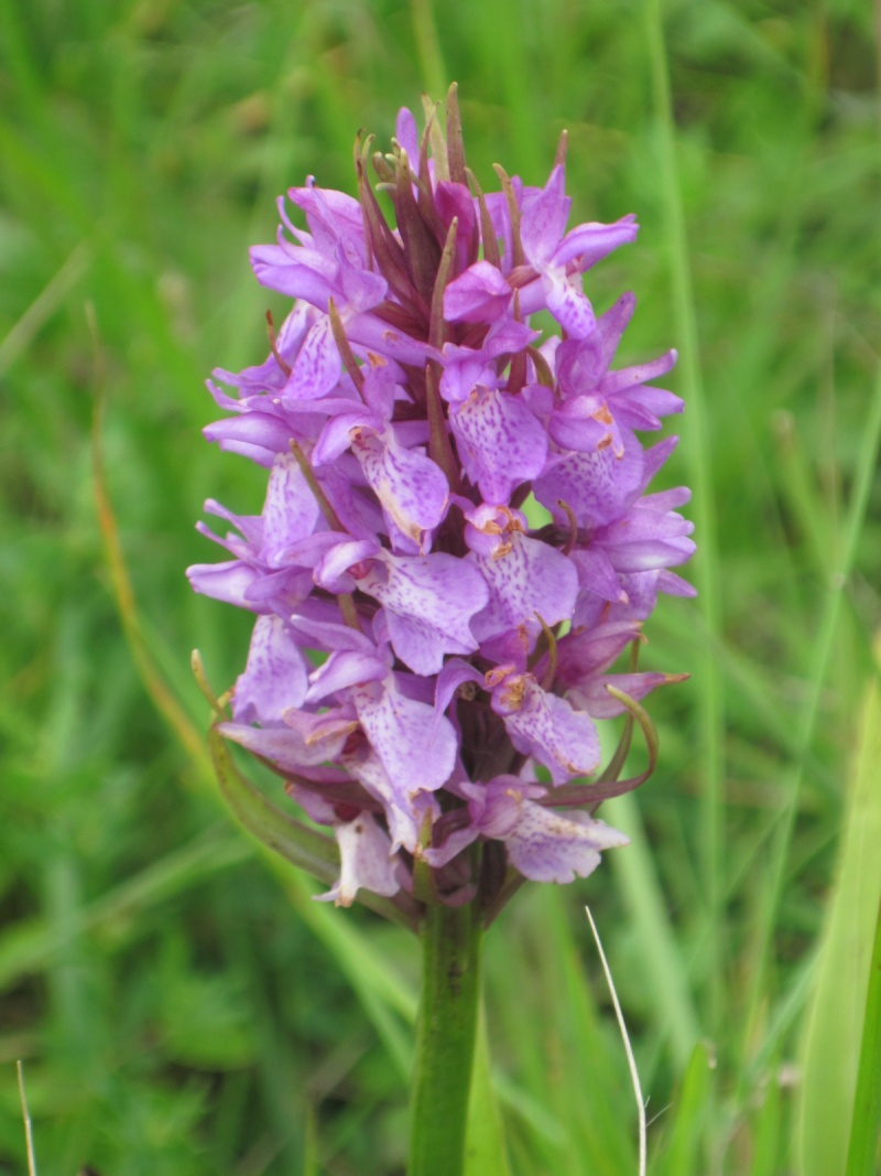 Orchis sp. Orchis10