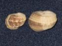 Coquillages actuels et fossiles Nerita10