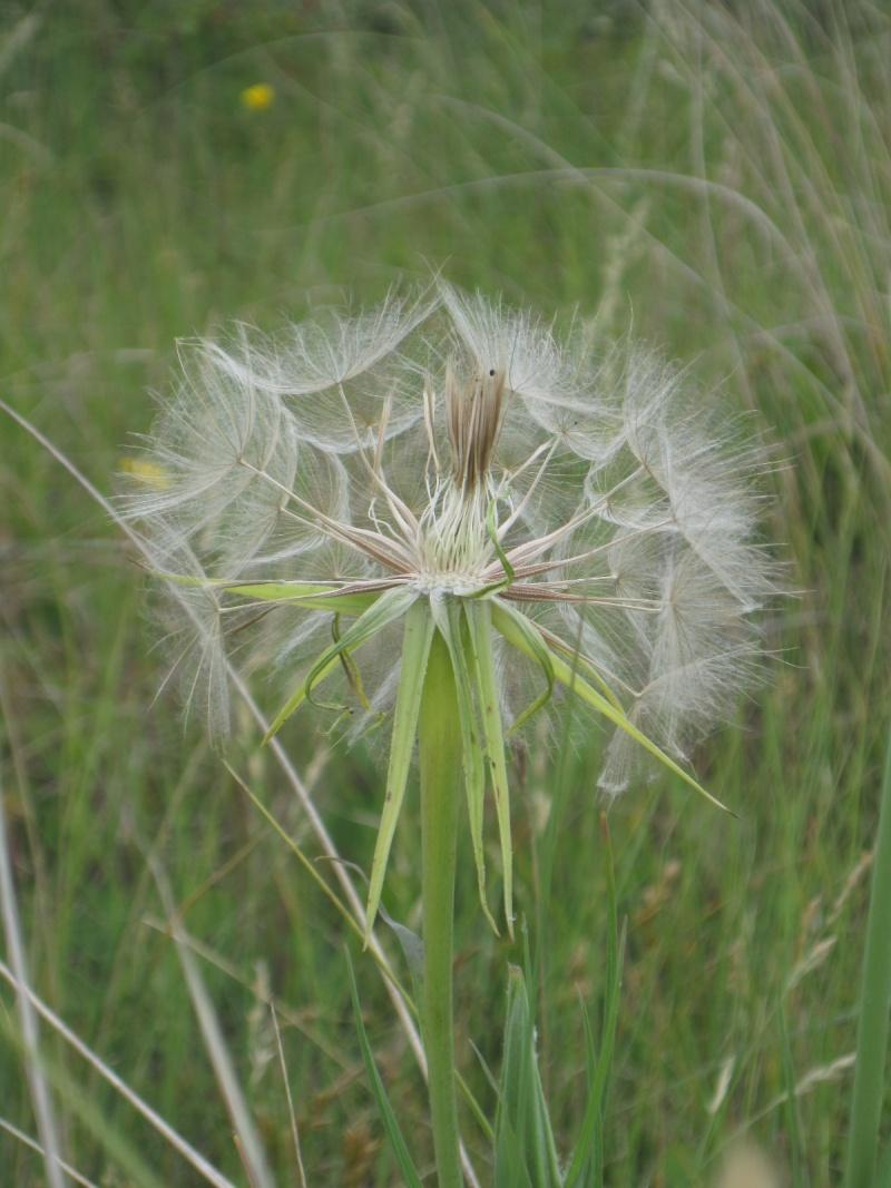 Tragopogon pratensis Tragop10