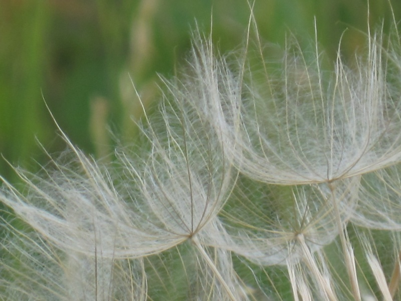 Tragopogon pratensis Tragop12