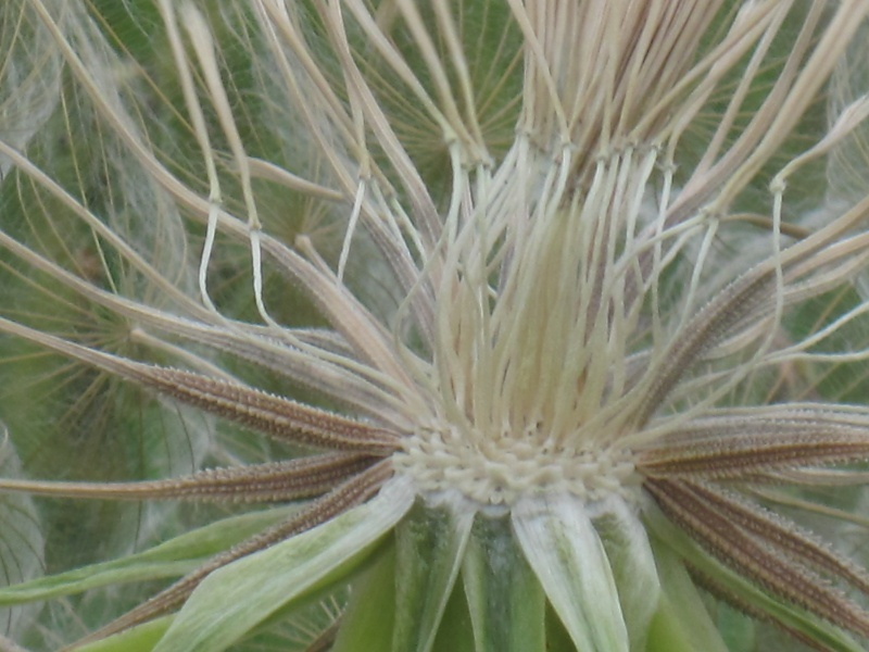 Tragopogon pratensis Tragop13