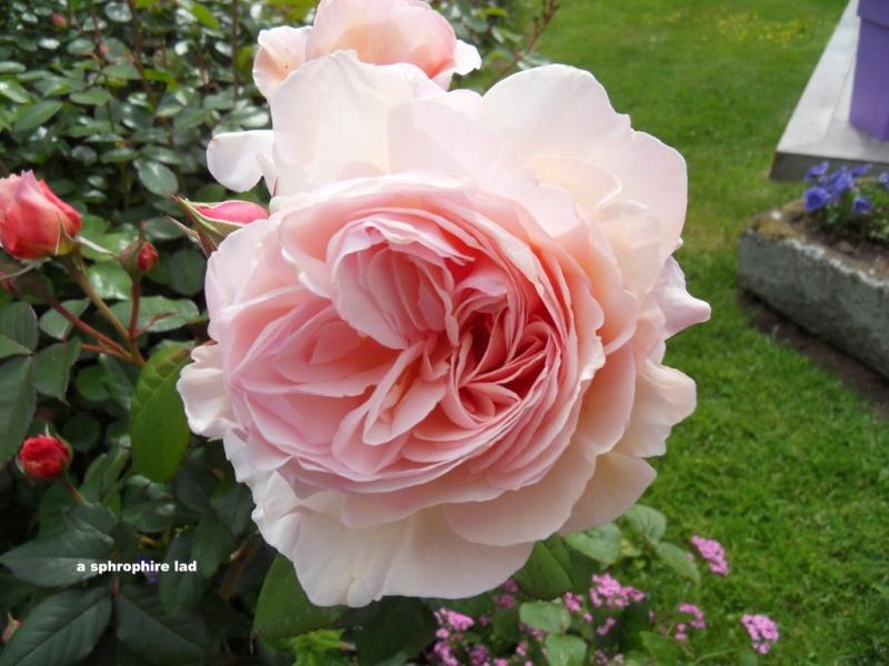 le royaume des rosiers...Vive la Rose ! - Page 13 001-sd11