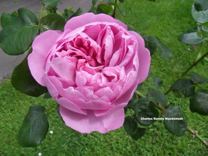 le royaume des rosiers...Vive la Rose ! - Page 13 004-sd10