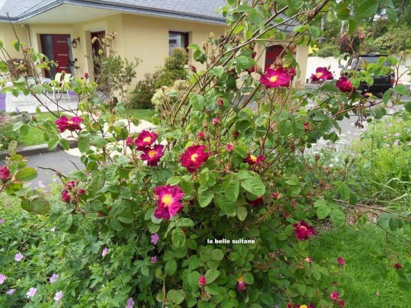 le royaume des rosiers...Vive la Rose ! - Page 13 011-sd10