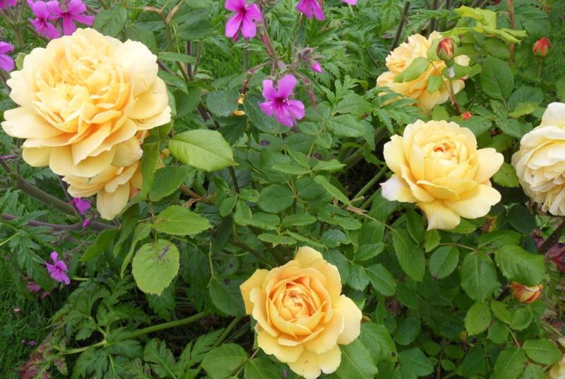 le royaume des rosiers...Vive la Rose ! - Page 13 040-sd10