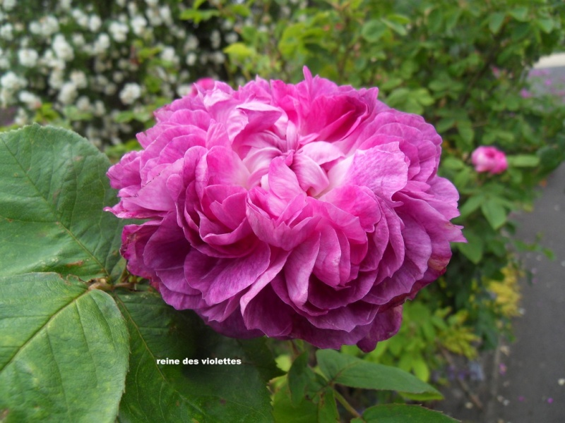 le royaume des rosiers...Vive la Rose ! - Page 13 081-sd10