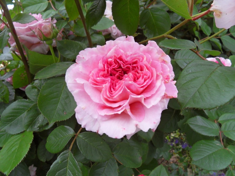 le royaume des rosiers...Vive la Rose ! - Page 13 088-sd10