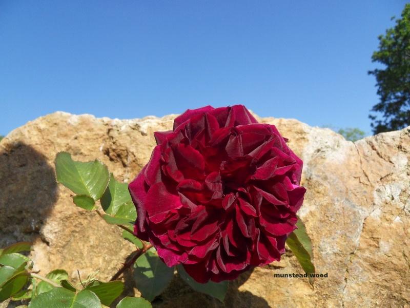 le royaume des rosiers...Vive la Rose ! - Page 13 1-sdc110