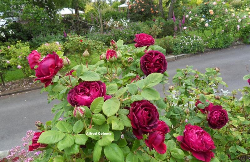 le royaume des rosiers...Vive la Rose ! - Page 13 12-sdc11