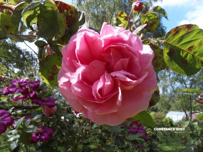 le royaume des rosiers...Vive la Rose ! - Page 13 16-sdc10