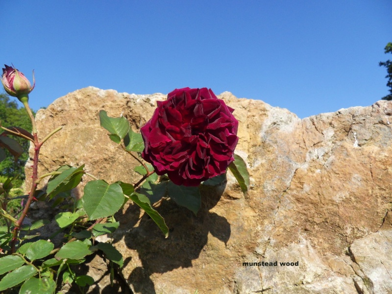 le royaume des rosiers...Vive la Rose ! - Page 13 3-sdc110
