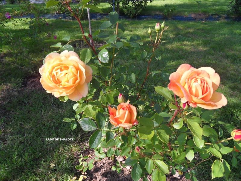 le royaume des rosiers...Vive la Rose ! - Page 13 38-sdc10
