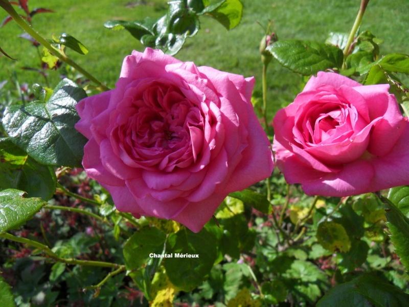 le royaume des rosiers...Vive la Rose ! - Page 13 42-sdc10