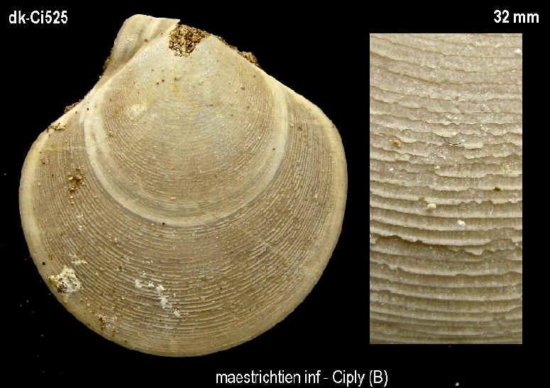 pectinidae ?? du maastrichtien inf de Ciply (B) 52510