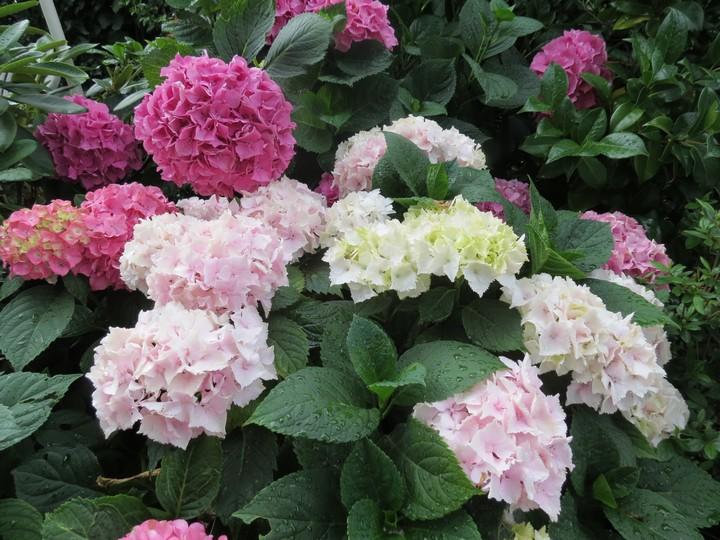 les fleurs dans mon jardin mars,avril 2014 Img_2013