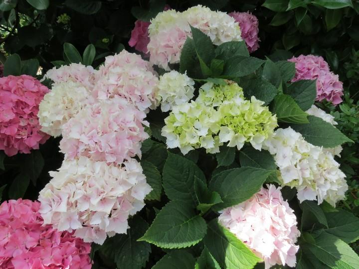 les fleurs dans mon jardin mars,avril 2014 Img_2016