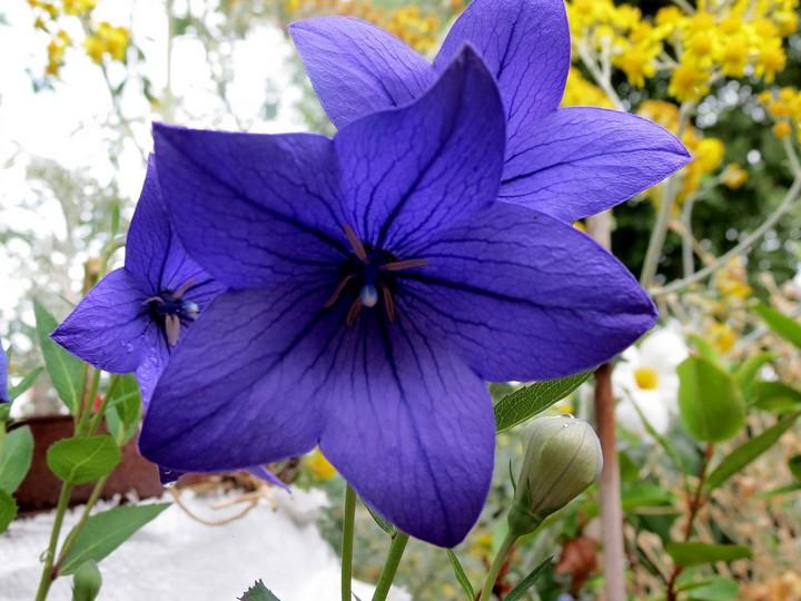 les fleurs dans mon jardin mars,avril 2014 Img_2021