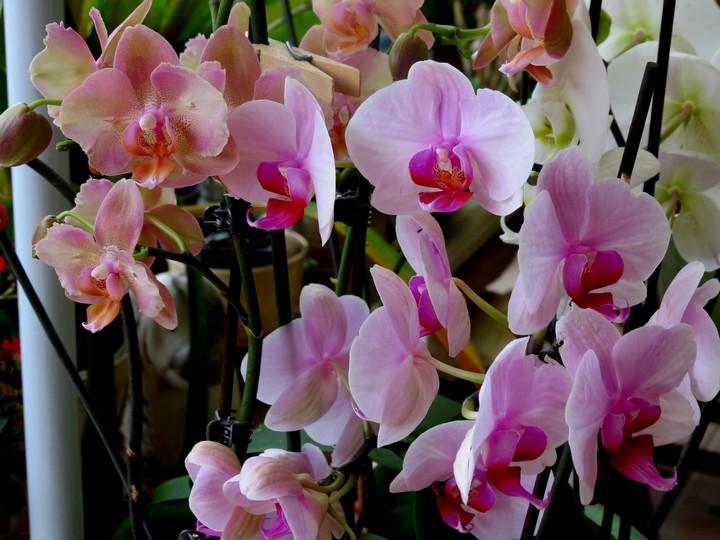 orchidées en juillet , Img_2023