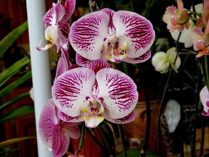 orchidées en juillet , Img_2024