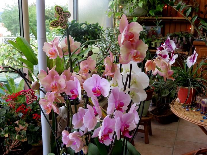 orchidées en juillet , Img_2110