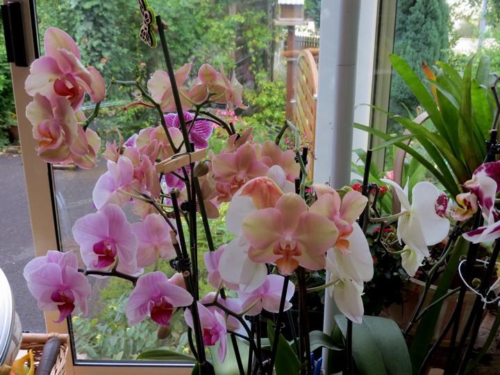 orchidées en juillet , Img_2111