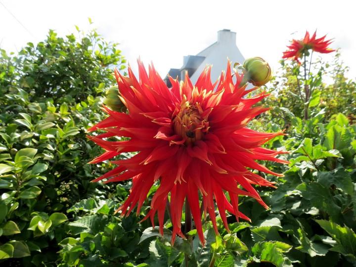 fleurs rapportées de bretagne Img_2412