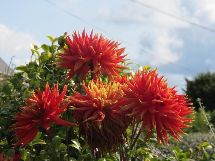 fleurs rapportées de bretagne Img_2413