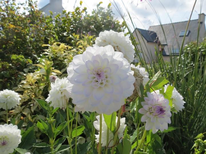 fleurs rapportées de bretagne Img_2414