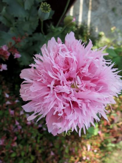 fleurs rapportées de bretagne Img_2417