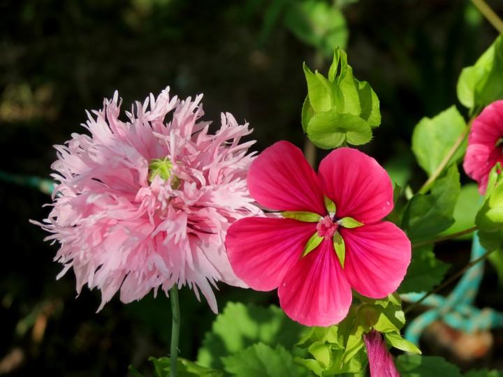 fleurs rapportées de bretagne Img_2419