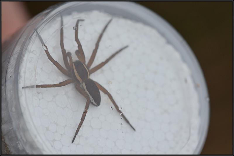Découverte des araignées Dolome10