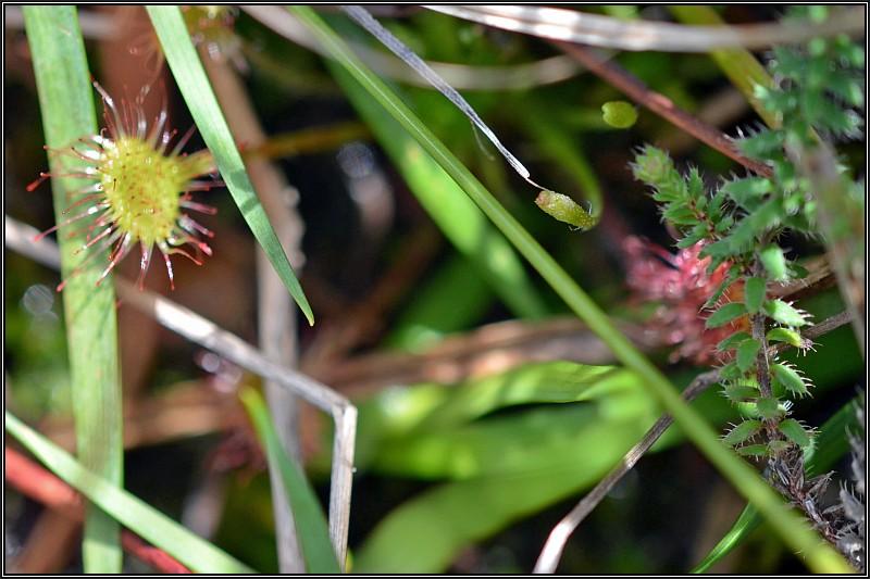 Plante indéterminée(Erica ciliaris) Drosyr10