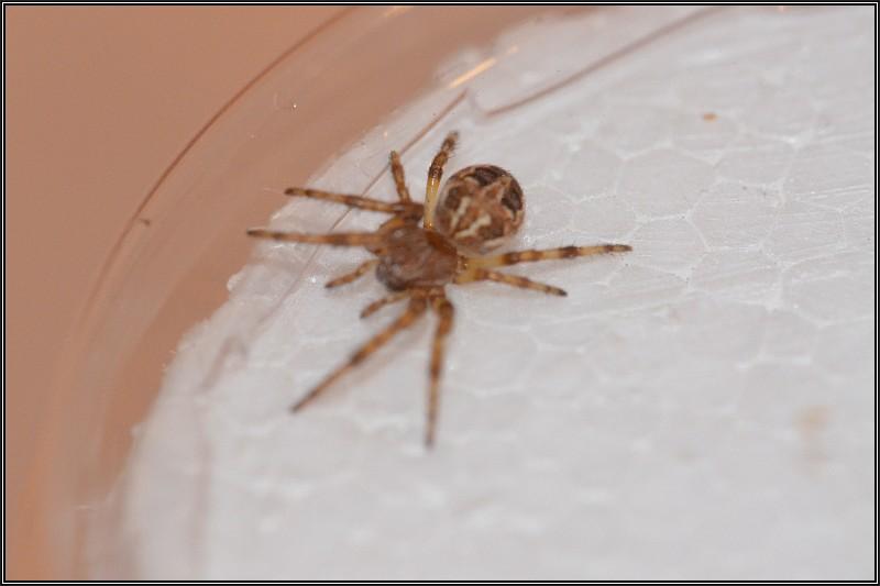Découverte des araignées Larini11