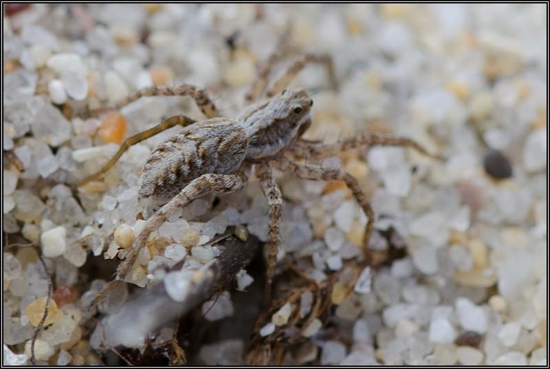Lycosidés sur la dune fixée [Alopecosa cursor] et [Pardosa sp.] Lycose11