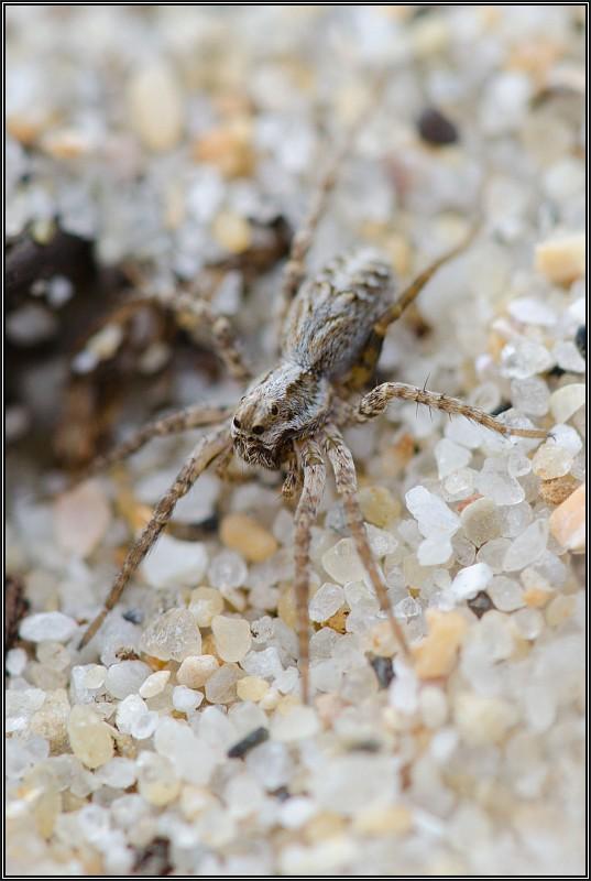 Lycosidés sur la dune fixée [Alopecosa cursor] et [Pardosa sp.] Lycose12