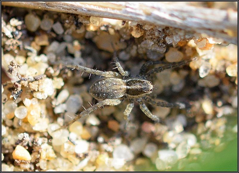 Lycosidés sur la dune fixée [Alopecosa cursor] et [Pardosa sp.] Pardos10