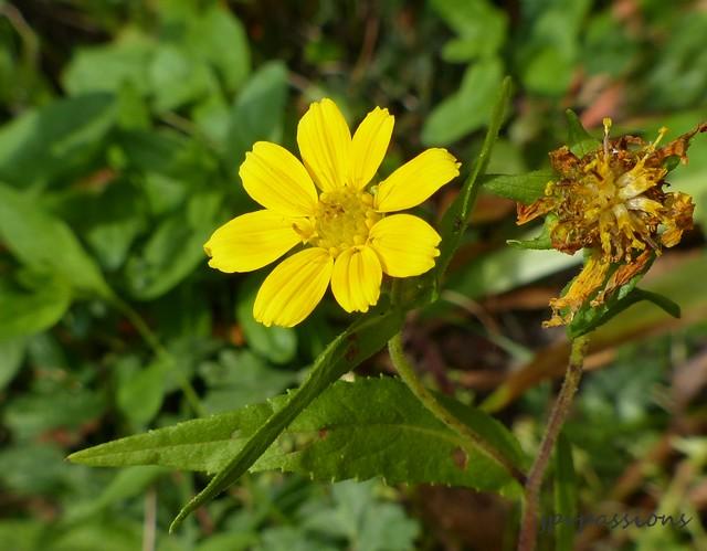 Fleur jaune P1070810