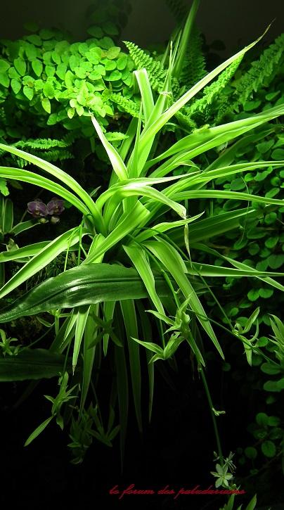 LA PHALANGERE Chlorophytum Dscf1511