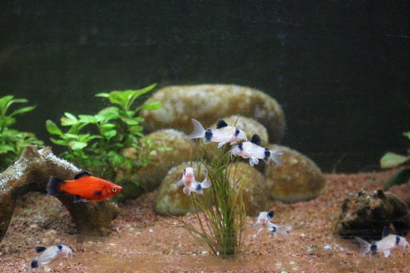 Premier aquarium de 100L, Corydoras Panda + Platys Img_4010