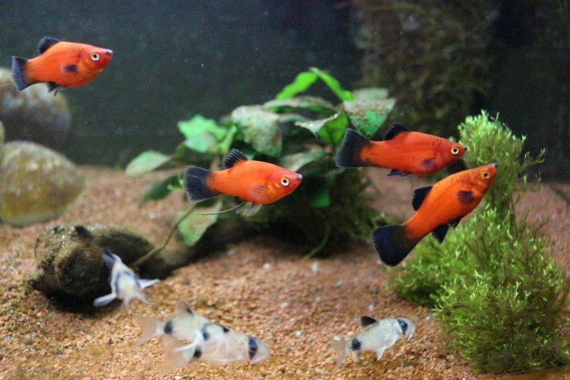 Premier aquarium de 100L, Corydoras Panda + Platys Img_4011