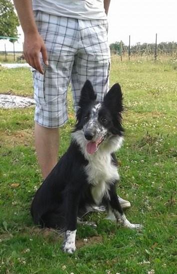 Jeune chienne border collie à l'adoption  10405610