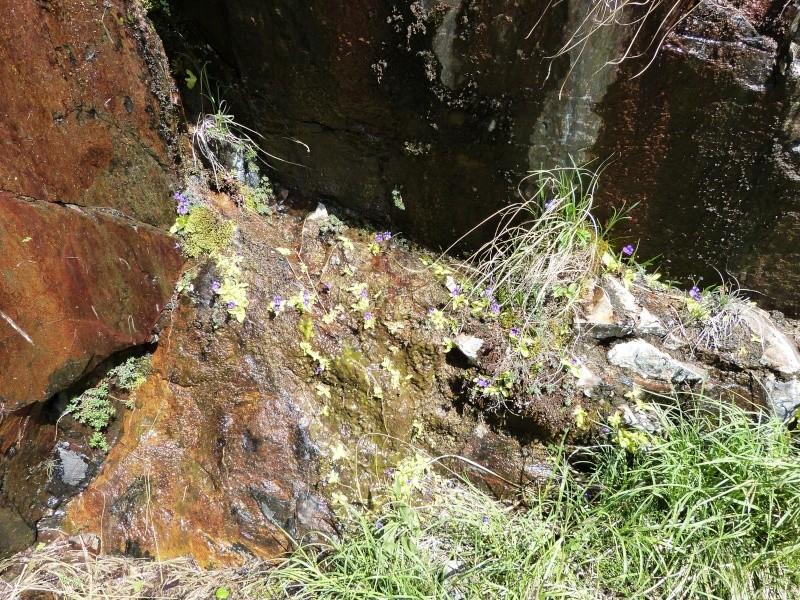 Plantules P. grandiflora périssant les unes apres les autres ... P1020911